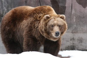 grizzly bear.  notice the rougher hair, larger frame, and muscular hump on its back